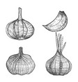 graphic hand drawn garlic set vector image