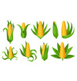 corn collection isolated ripes corn ear yellow vector image vector image