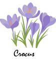 crocus violet flowers on white background vector image