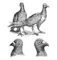 Belgian carriers pigeon vintage vector image