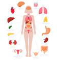 woman internal organs infographic human body vector image