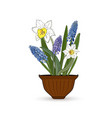 flowers narcissus and muscari in a flower pot vector image vector image
