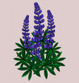 inflorescence of lupines vector image