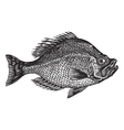 rock bass vintage engraving vector image