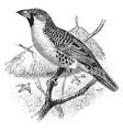 weaver bird vintage vector image