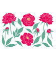 simple pink peony flowers buds and leaves set vector image