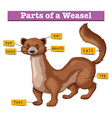 Different parts of weasel vector image vector image