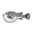 fugu toxic fish sketch engraving vector image