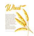grain wheat barley oat rice cob bright vector image vector image