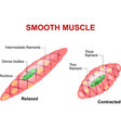 Smooth muscle vector image vector image