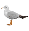 Seagull stands isolated on white vector image vector image