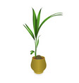 tropical plant coconut palm in a pot vector image