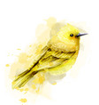 cute yellow bird watercolor isolated on vector image vector image