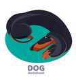 dachshund dog lies curled up and relax on blue vector image