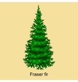 Christmas tree like fraser fir for New year vector image
