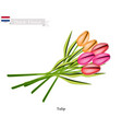 tulip flowers the national flower of netherlands vector image vector image