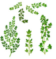 bunch fresh thyme herb isolated set vector image