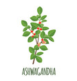 ashwagandha icon in flat style on white background vector image vector image