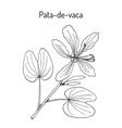 brazilian orchid tree or pata-de-vaca bauhinia vector image