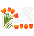 orange bouquet tulip vector image