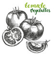 tomato vegetable set hand drawn vector image vector image