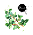 Watercolor hand drawn thyme bunch Isolated eco vector image