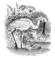 european spoonbill vintage vector image vector image