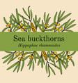sea-buckthorn hippophae rhamnoides edible and vector image