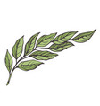 branch laurel tree vector image vector image