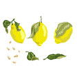 set with 3 juicy lemon fruits leaves and seeds in vector image vector image