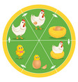 the life cycle of chicken vector image
