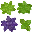 fresh basil herb isolated set vector image