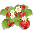 strawberry bush vector image vector image