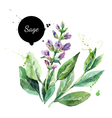 Watercolor hand drawn bunch of flowering sage vector image