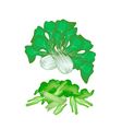 Fresh Green Pok Choi on A White Background vector image vector image