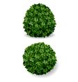 Bush decorative boxwood vector image