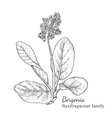 Ink bergenia hand drawn sketch vector image vector image