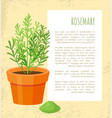 rosemary spice poster and text vector image vector image