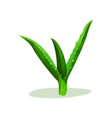 bright green leaves of aloe vera succulent plant vector image vector image