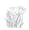 Hand drawn crocus flowers vector image vector image