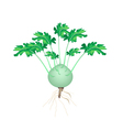 A Fresh Kohlrabi on A White Background vector image vector image