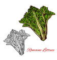 romaine or cos lettuce sketch with green leaf vector image vector image