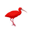 detailed of scarlet ibis vector image vector image