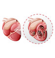 magnified heart worm concept vector image