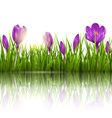 Green grass lawn violet crocuses and sunrise with vector image vector image
