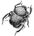 gymnopleurus vector image vector image