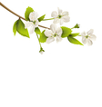 Cherry branch with white flowers isolated on white vector image vector image