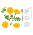 marigold flower outline vector image