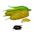 corn hand drawn isolated vector image vector image