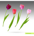 purple and pink tulips vector image vector image